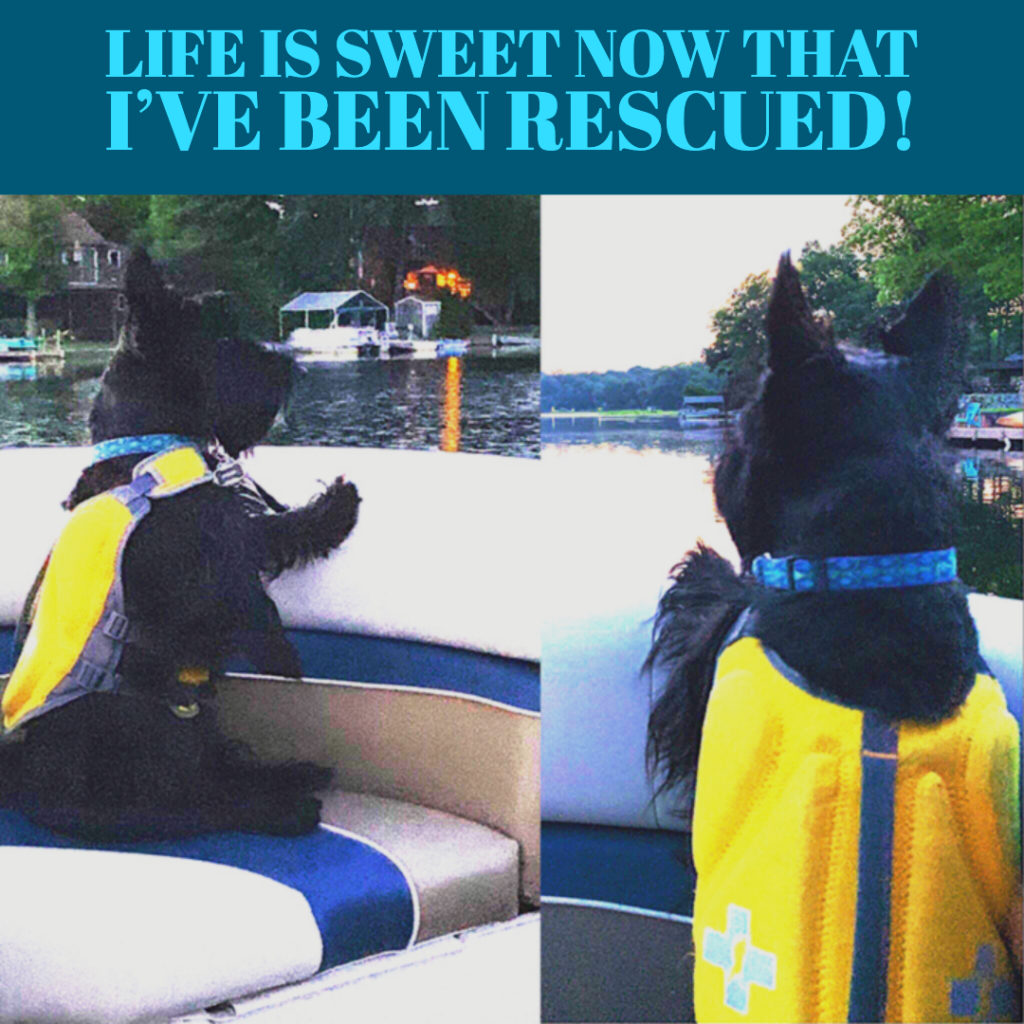 Scottish Terrier Club of Greaater NY rescues go on to very happy lives