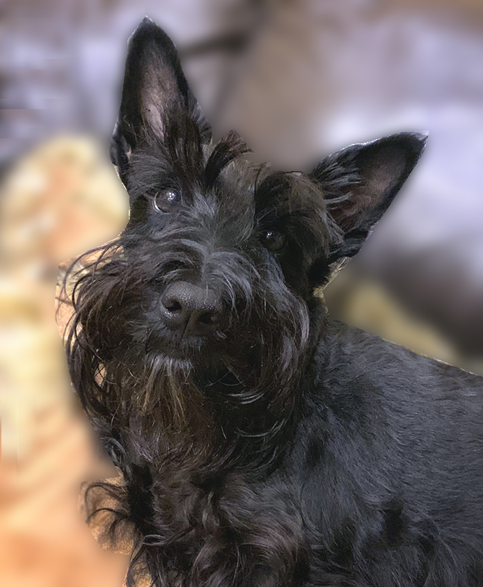 Scottish Terrier Club of Greater NY Rescue Secret
