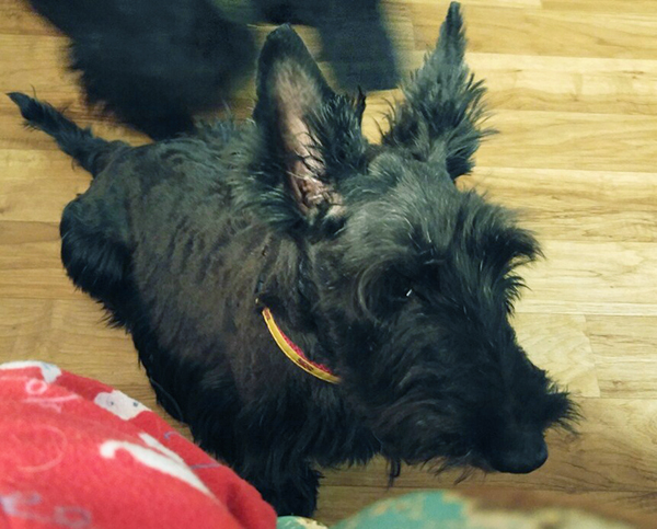 Biscotti the Scottish Terrier is available for adoption from STCGNY Scottie Rescue