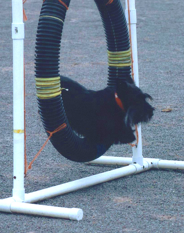 Scottish Terriers excel at agility!