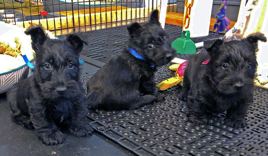 Three Scottish Terrier puppies at six weeks of age