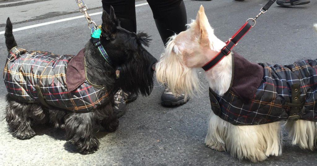 Two Scotties clad in Tartan coats, meet at NYC Tartan Day Parade