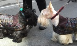 Two Scotties clad in Tartan coats, meet at NYC Tartan Day Parade
