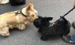 Members of the Scottish Terrier Club of Greater New York respresenting the breed at the 2019 NYC Tartan Day Parade