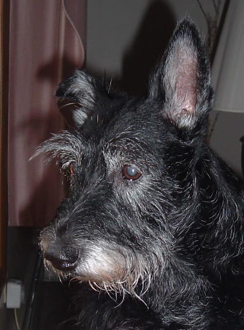 Shayna, a Scottish Terrier who was rescued and placed in a great home by the Scottish Terrier Club of Greater NY Rescue