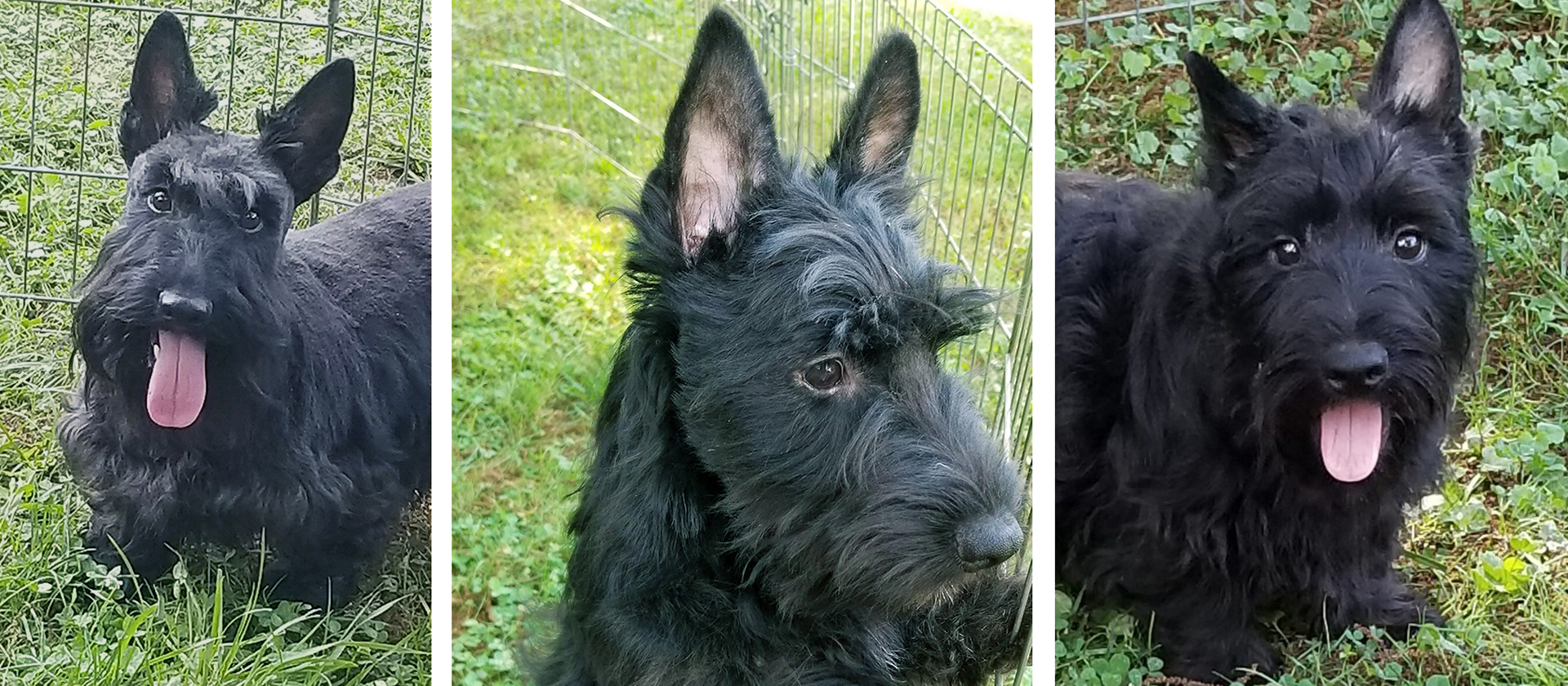 Mom and 2 pups rescued by Scottish Terrier Club of Greater New York Rescue