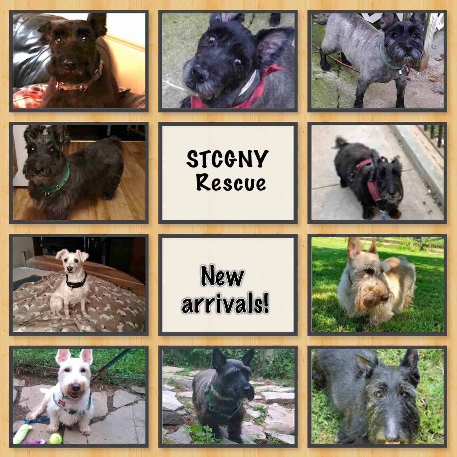 Scottish Terriers being rescued by Scottish Terrier Club of Greater NY, Oct. 1, 2019