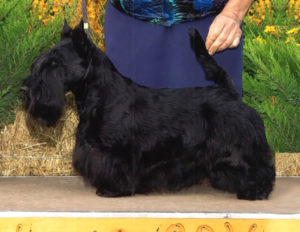 This Scottish Terrier will compete at Westminster in 2020