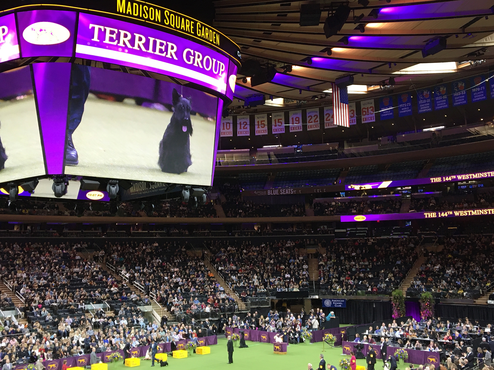 Jumbutron showing Scottish Terrier at Westminster Terrier Group at MSG