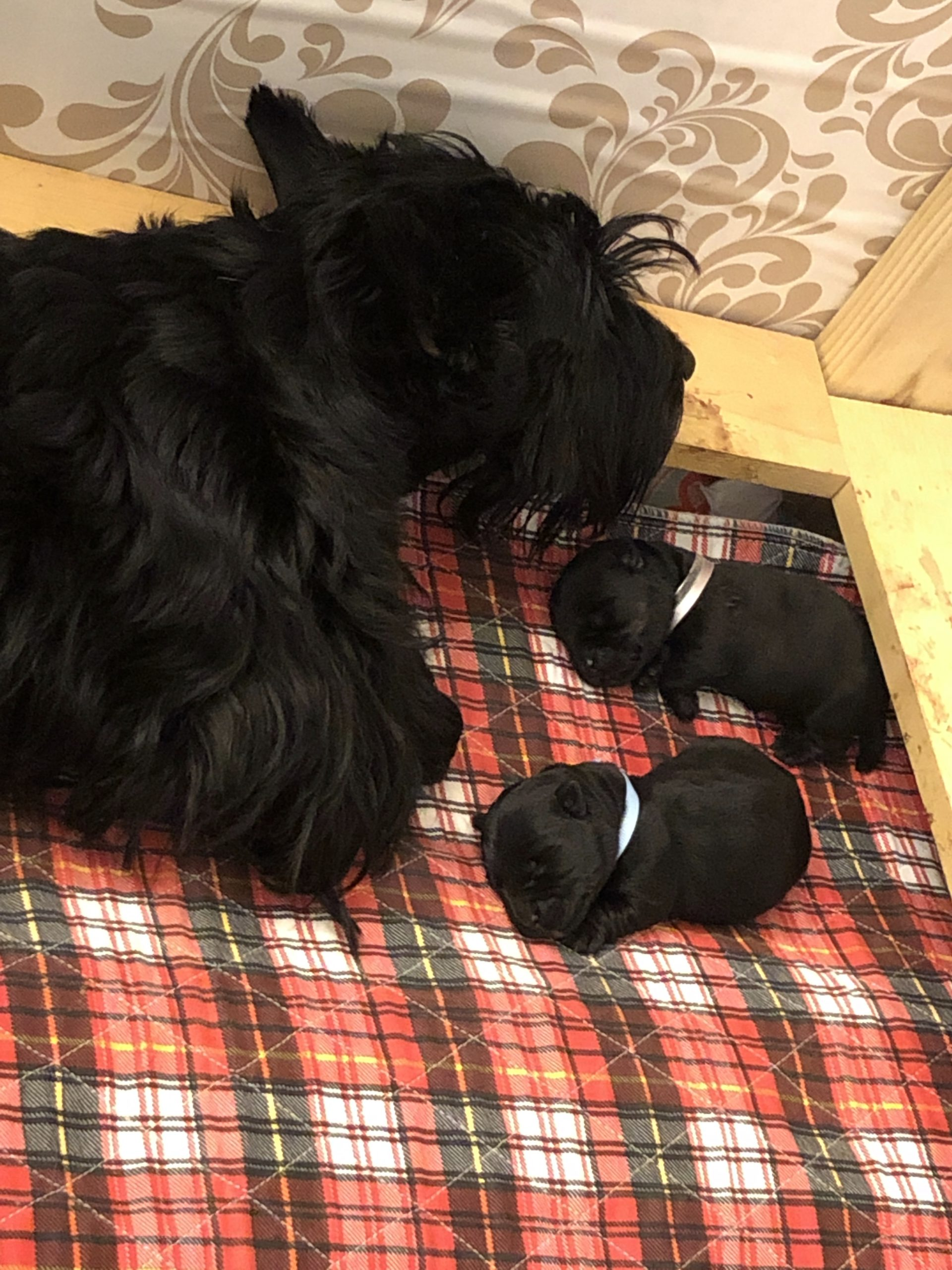 Kingsdale Scottish Terriers has a new puppies April 2020.