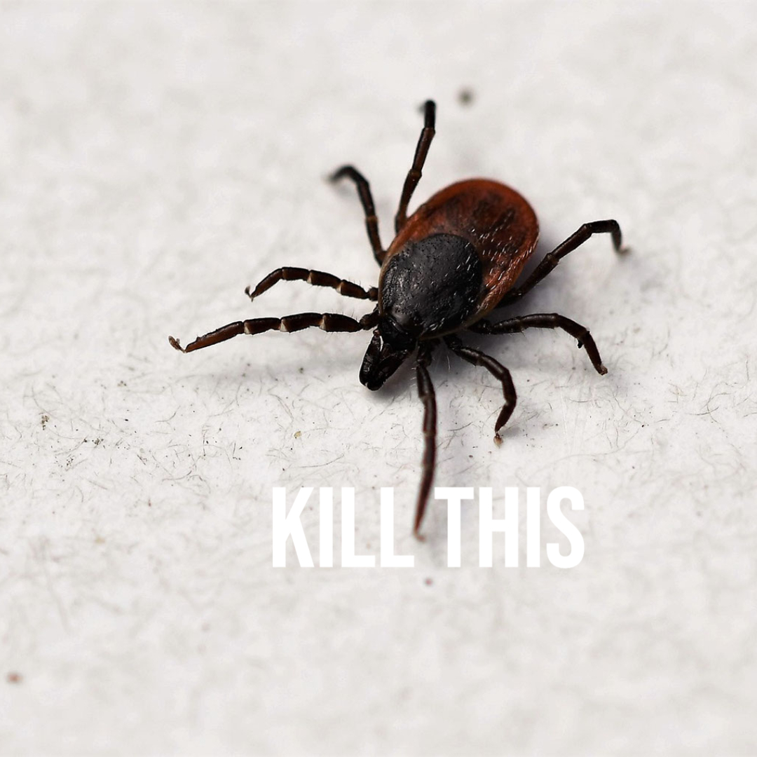 What a blood sucking tick looks like.